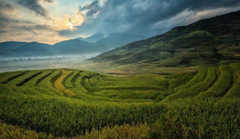 Чайное поле