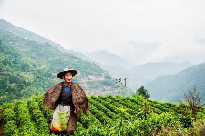 Сборщик чая
