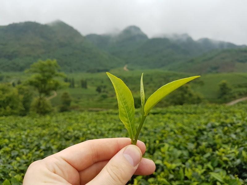 Чайные листы в руке