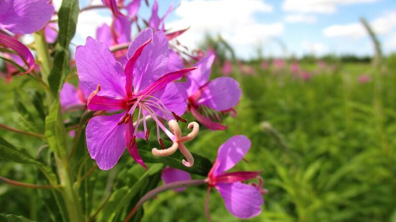 Цветок кипрея