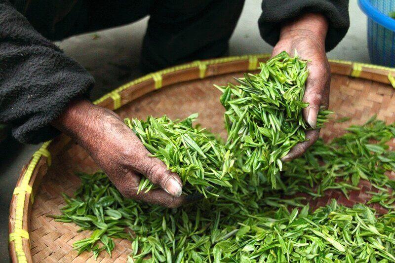 зеленый чай перебирает руками