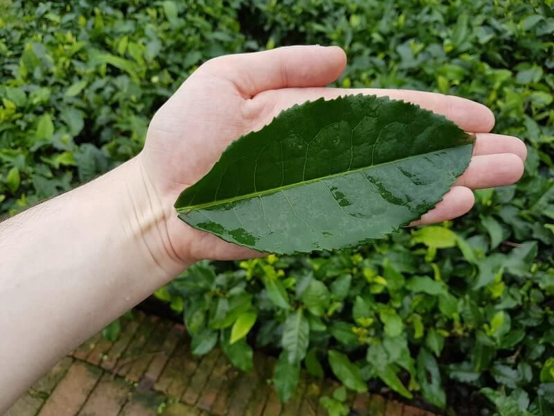 Чайный лист в руке