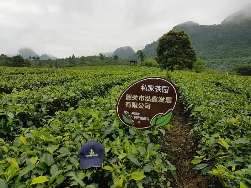 Чайное поле кепка чайная гавань