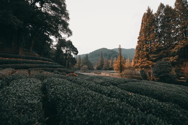 Лес чайная плантация