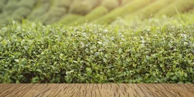 Чайная плантация доска
