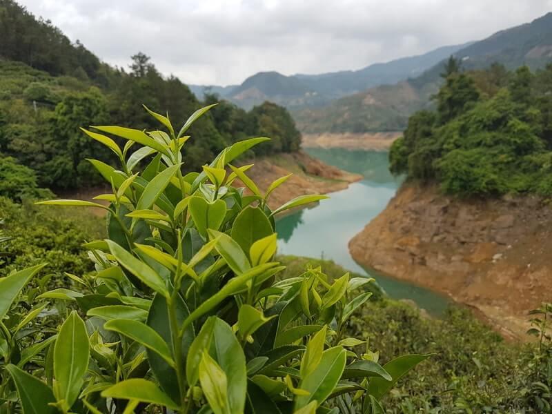 Чайный куст холмы река