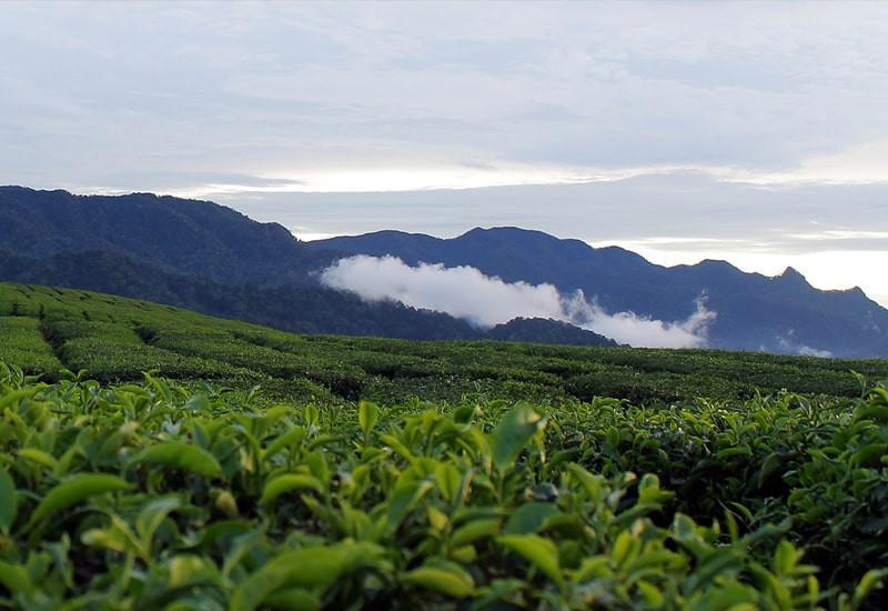 Чайное поле на фоне гор