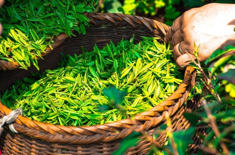 Чайные листья в корзине