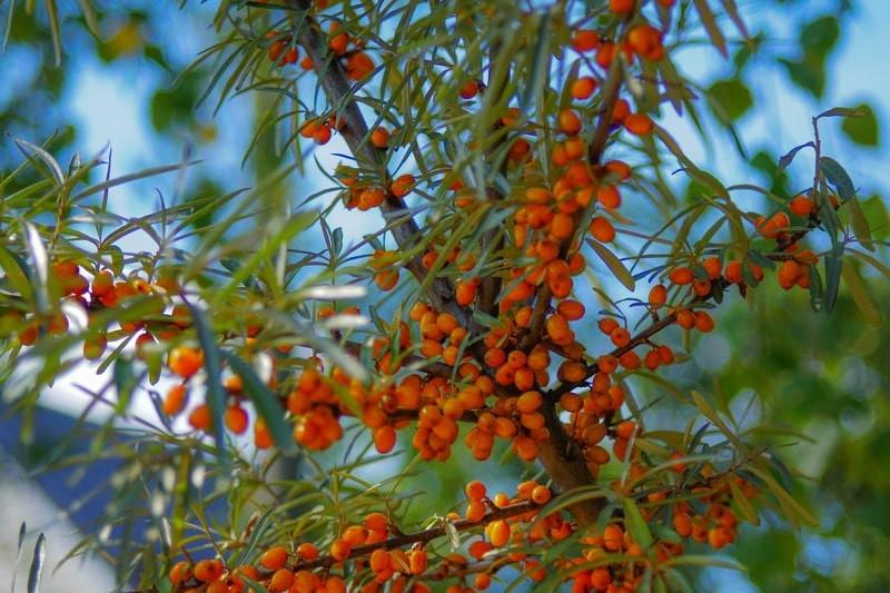 Облепиховое дерево