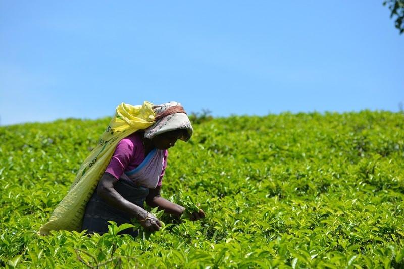 Сборщица чая на поле
