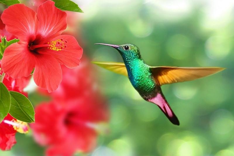 гибискус колибри